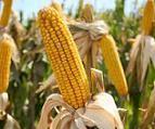 OGM : Des résistances d'insectes inquiétantes aux Etat-Unies