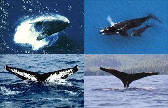 Commission baleinière internationale (CBI) harponne la science selon Ifaw