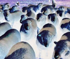 Fièvre catarrhale ovine (FCO)