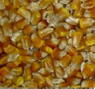 Epandage d'insecticide contre la chrysomèle, le ravageur du maïs