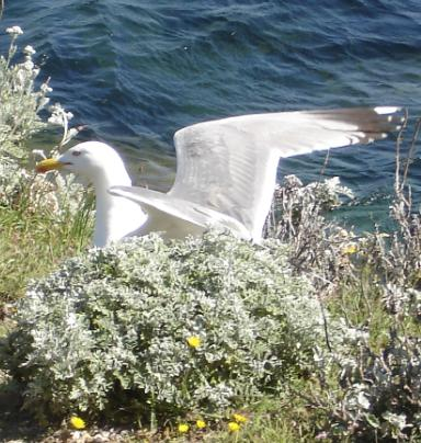 Mouette sur lîle de Porquerolles, une île de l'archipel des îles d'Hyères