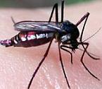 moustique-06.jpg